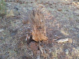 fatwood chunk